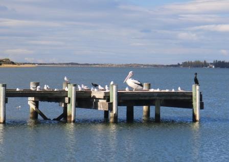 pelican at Goolwa