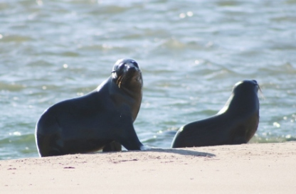 fur seals in Goolwa