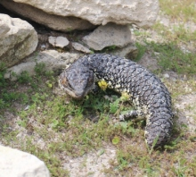sleepy lizard