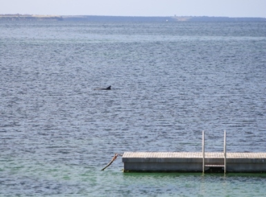 dolphin visitor