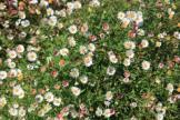 Australian native daisy