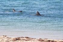 dolphins in shallow water