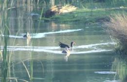 ducks on the Murray