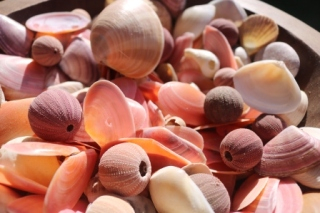 pink shell collection