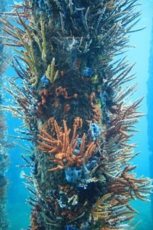 Australian coral