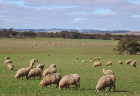 mid north sheep farm
