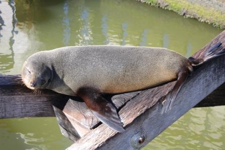 fur seal