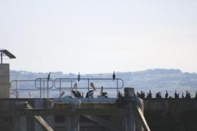 Goolwa barrage birdlife