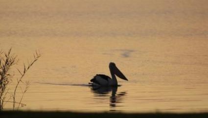pelican on Lake Alexandrina