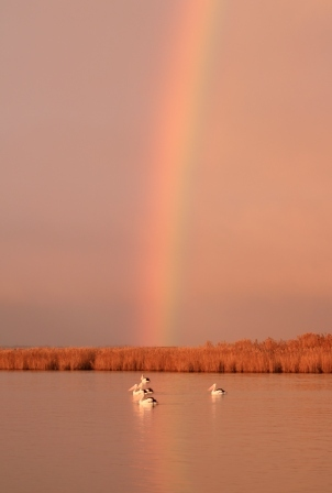 pelicans on Lake Alexandrina