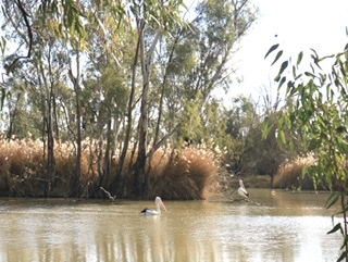 Pelicans on the Murray River