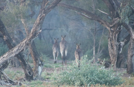 three roos in the mist