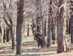 kangaroo at Rawnsley Park
