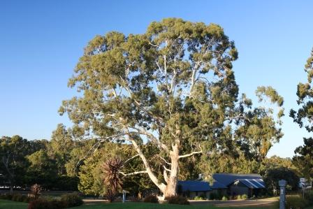 Adelaide hills gum trees
